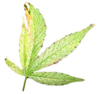 cannabis-lawer-santa-clara
